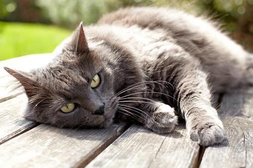 ペルシャネコ「Persian Cat」:スマホ壁紙(4)