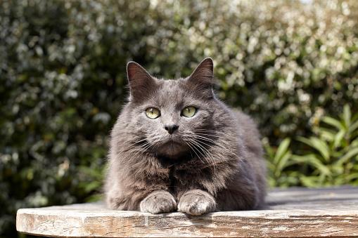 ペルシャネコ「Persian Cat」:スマホ壁紙(1)