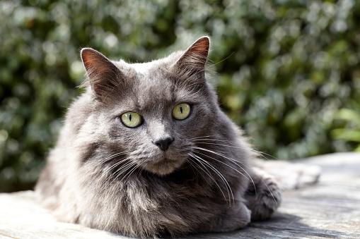 ペルシャネコ「Persian Cat」:スマホ壁紙(2)