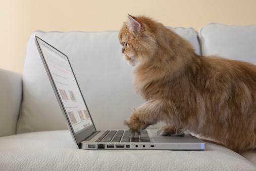 Three Quarter Length「Persian Cat using laptop computer」:スマホ壁紙(6)