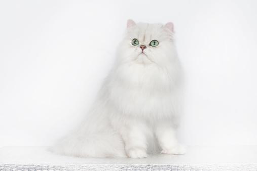 ペルシャネコ「Persian cat」:スマホ壁紙(7)