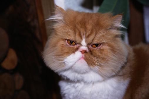 Frowning「Persian cat」:スマホ壁紙(16)