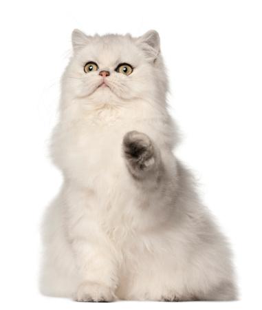 ペルシャネコ「Persian cat sitting」:スマホ壁紙(13)