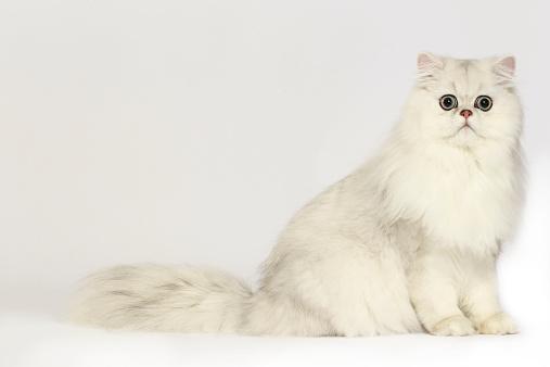 Persian Cat「Persian cat」:スマホ壁紙(7)