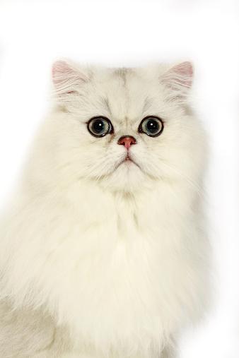 ペルシャネコ「Persian cat」:スマホ壁紙(14)