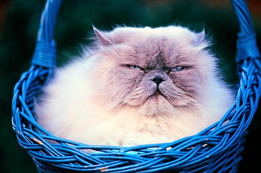 ペルシャネコ「Persian cat in blue basket.」:スマホ壁紙(0)