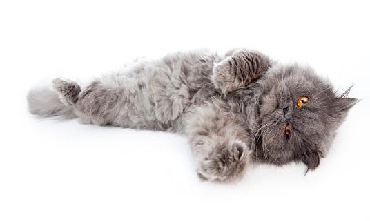 純血種のネコ「ペルシャ猫、オレンジの目をレイアウト、白で分離」:スマホ壁紙(9)