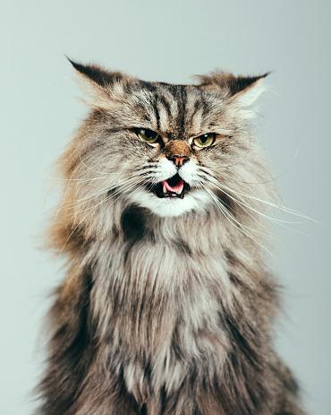 ペルシャネコ「ペルシャ猫のポートレート」:スマホ壁紙(19)