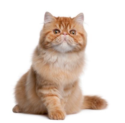 ペルシャネコ「Persian cat」:スマホ壁紙(15)