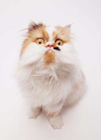 Purebred Cat「Persian cat, close-up」:スマホ壁紙(11)