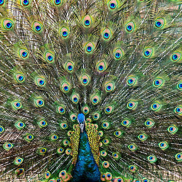 Close up of male peacock with feathers out:スマホ壁紙(壁紙.com)