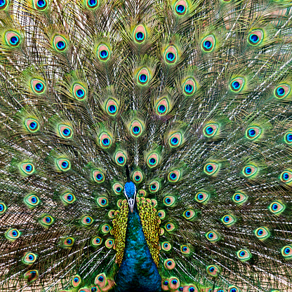 Animal Wing「Close up of male peacock with feathers out」:スマホ壁紙(11)