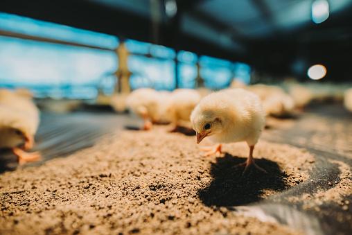 Males「Close up of small cute newborn chicks in farm house」:スマホ壁紙(11)