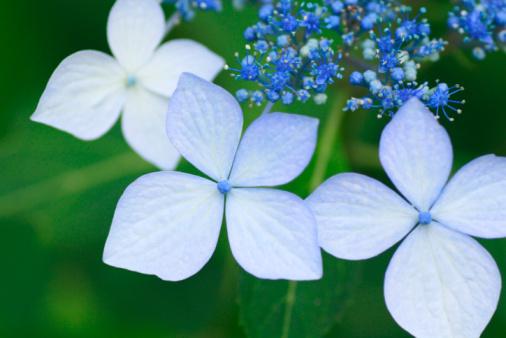あじさい「Close up of hydrangea flowers, differential focus」:スマホ壁紙(15)