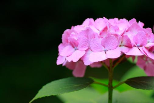 あじさい「Close up of hydrangea flower, differential focus」:スマホ壁紙(7)