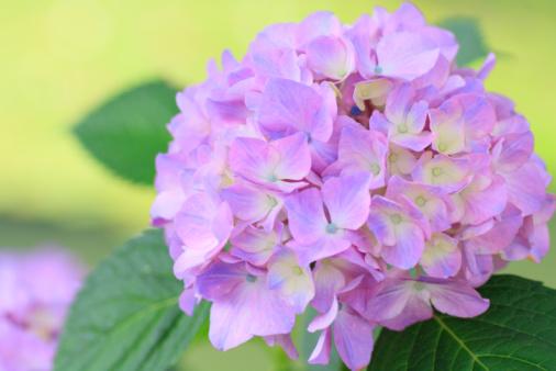 あじさい「Close up of hydrangea flower, differential focus」:スマホ壁紙(8)