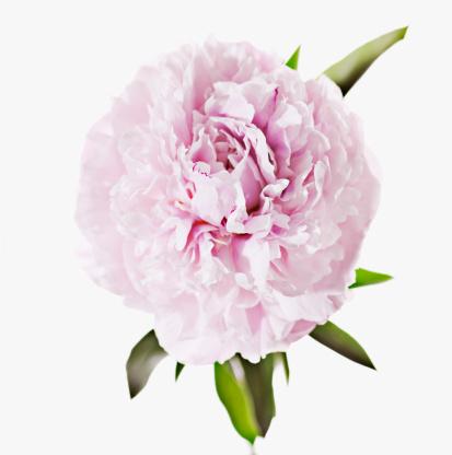 一輪の花「ピンクの牡丹のクローズアップ」:スマホ壁紙(4)