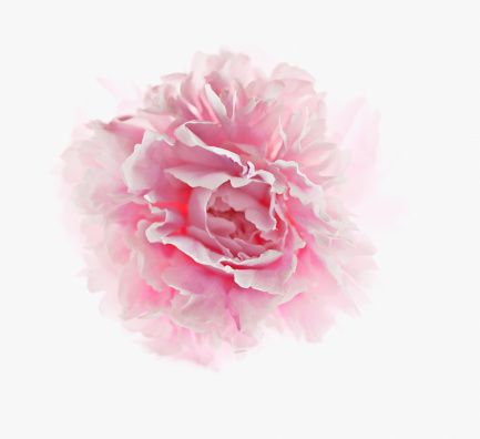 Single Flower「Close up of pink peony」:スマホ壁紙(7)