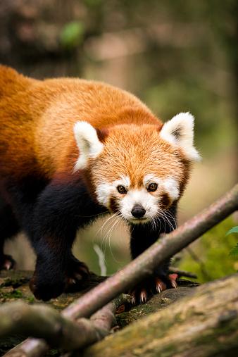 パンダ「レッサーパンダのクローズアップの木」:スマホ壁紙(8)