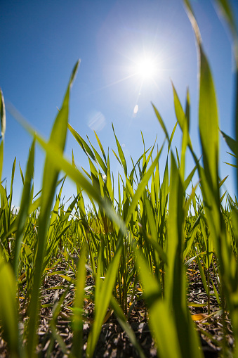 Focus On Background「Close up of crops growing in field, Palouse, Washington State, USA」:スマホ壁紙(14)