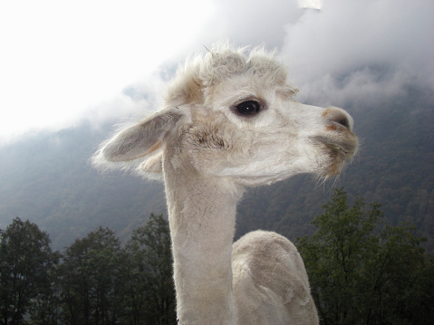 Camel Family「Close up of llama standing near mountain」:スマホ壁紙(13)
