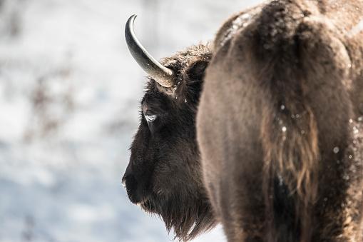 Horned「Close up of European bison (Bison bonasus), Armenis, Caras-Severin, Romania」:スマホ壁紙(1)