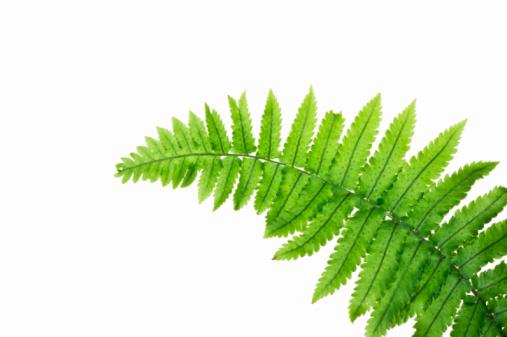 Fern「Close up of Fern Leaf against white background」:スマホ壁紙(17)