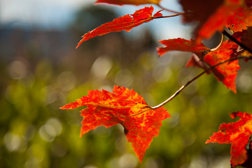 Stowe - Vermont「Close up of autumn coloured bright red leaves」:スマホ壁紙(18)