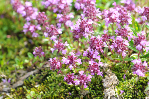 Thyme「Close up of wild thyme flowers」:スマホ壁紙(0)