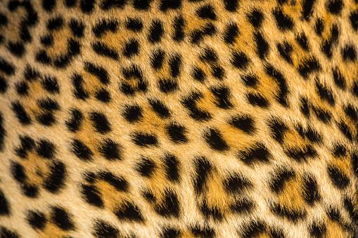 Panther「Close up of leopards (Panthera pardus) fur」:スマホ壁紙(3)
