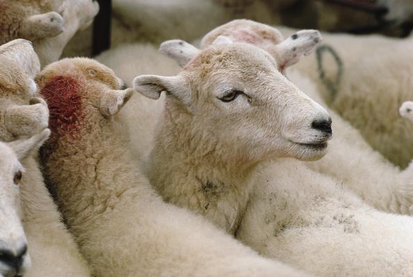 Travel Destinations「Sheep Market」:写真・画像(13)[壁紙.com]