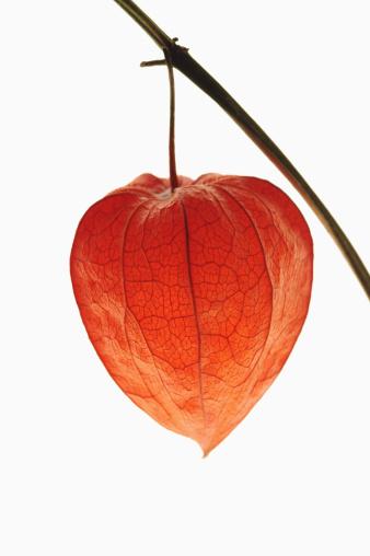 Chinese Lantern「Close up of red chinese lantern plant (Physalis franchetii)」:スマホ壁紙(17)