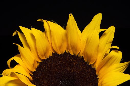 ひまわり「Close up of sunflower against black」:スマホ壁紙(8)