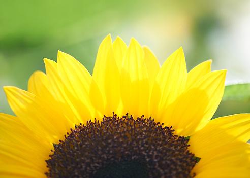 ひまわり「Close up of sunflower against field」:スマホ壁紙(7)