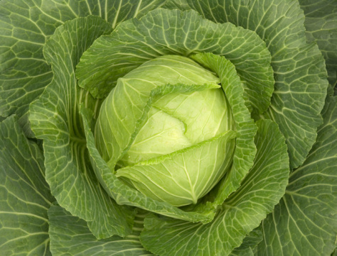 Cabbage「Close up of green cabbage leaves」:スマホ壁紙(0)