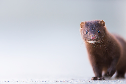Three Quarter Length「Close up of a mink (neovison vison)」:スマホ壁紙(12)