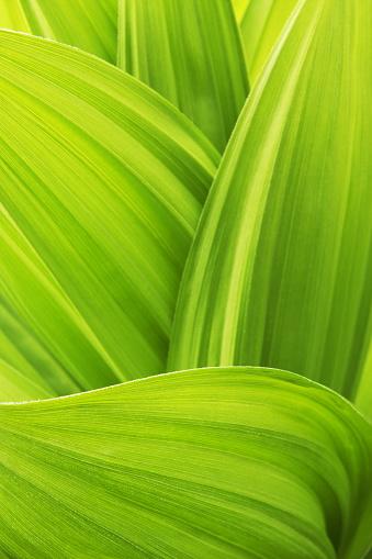 自然の模様「バイケイソウ Veratrum viride 植物の葉」:スマホ壁紙(14)