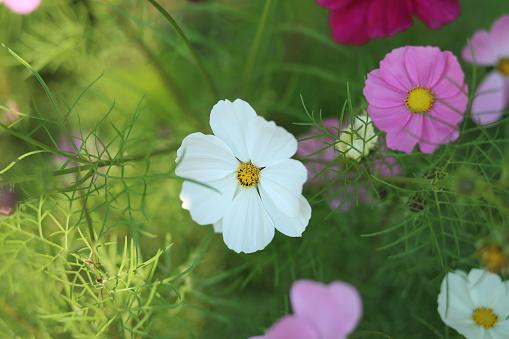 コスモス「Close up of cosmos flower」:スマホ壁紙(12)