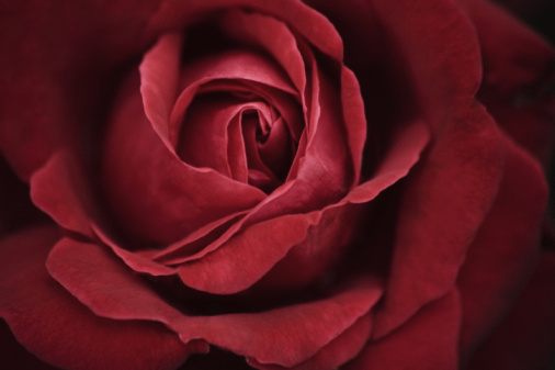 Flower Head「Close up of a red rose」:スマホ壁紙(9)