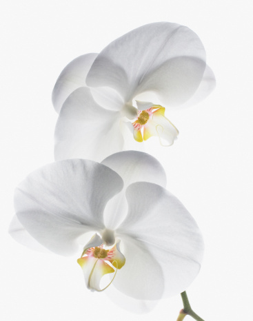 Two Objects「Close up of white orchids on stem」:スマホ壁紙(8)