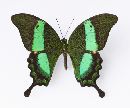 Specimen Holder「Close up of Emerald Swallowtail butterfly」:スマホ壁紙(0)