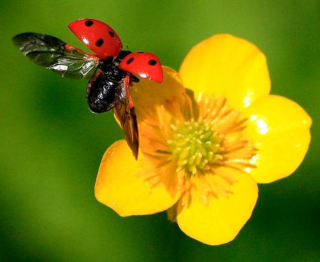 Ladybug「Close up of ladybug landing on a buttercup flower」:スマホ壁紙(11)