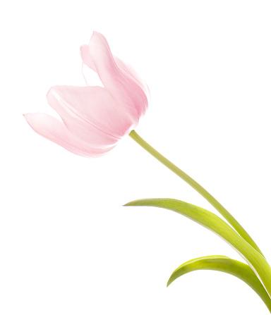 チューリップ「クローズアップの美しいピンクのチューリップ白で分離」:スマホ壁紙(11)