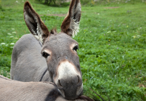 Val d'Isere「Close up of the face of a donkey (Equus asinus) in a grassy field in Val d'Isere, France. The animal is resting its head on the back of another donkey.」:スマホ壁紙(8)