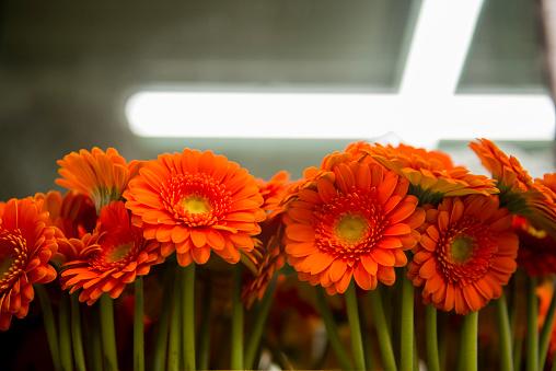 Flower Shop「Close up of orange gerbera daisies」:スマホ壁紙(2)