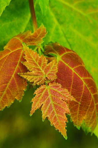 セイヨウカジカエデ「Close Up Of Leaves On A Red Maple Tree」:スマホ壁紙(10)