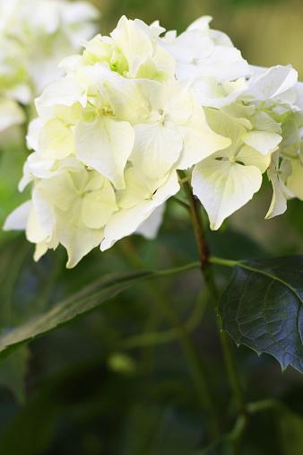 あじさい「クローズアップホワイトアジザイの花」:スマホ壁紙(0)