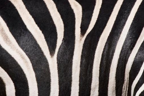 Animal Hair「Close up of zebra fur」:スマホ壁紙(2)