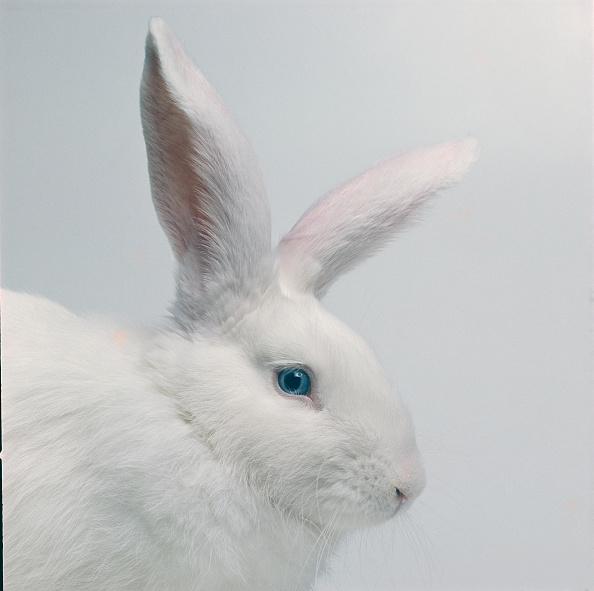 Rabbit - Animal「White Rabbit」:写真・画像(2)[壁紙.com]