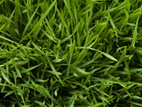 Wheatgrass「Close up of dew droplets on grass」:スマホ壁紙(12)